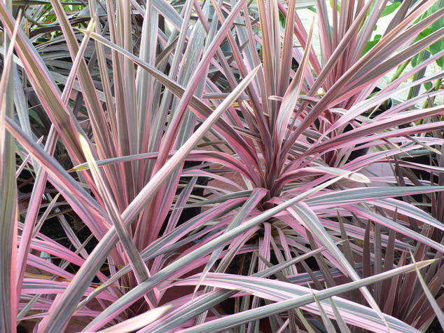 cordyline australis southern splendour palmier de nouvelle z lande southern splendour. Black Bedroom Furniture Sets. Home Design Ideas