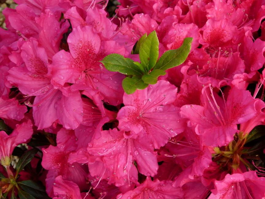 Azalea japonaise georg arends azal e japonaise georg for Plantes japonaises