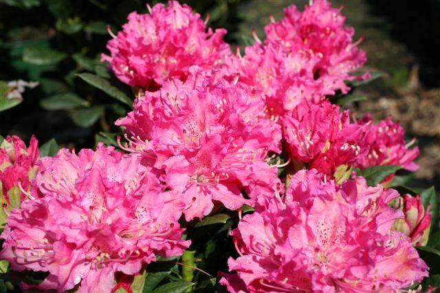 Rhododendron hybride rocket rhododendron hybride rocket - Rhododendron ne fleurit pas ...