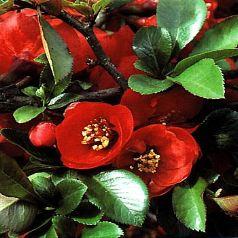 Arbustes De Moyen Developpement A Floraison Rouge Pepiniere En