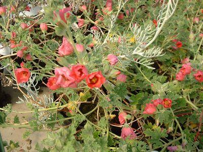 Arbustes d 39 ornement arbustes rampants et couvre sol for Catalogue plantes et arbustes