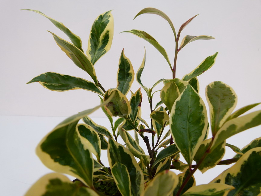 Cleyera japonica tricolor cleyera panach sakaki for Commande de plantes en ligne