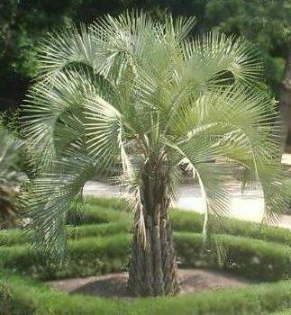 Butia capitata palmier vin palmier bleu arbre for Palmier d exterieur resistant au froid