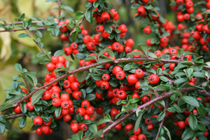 COTONEASTER damneri Coral Beauty