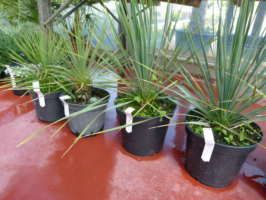 Yucca rostrata yucca rostrata yucca bleu de beaked for Yuka plante exterieur