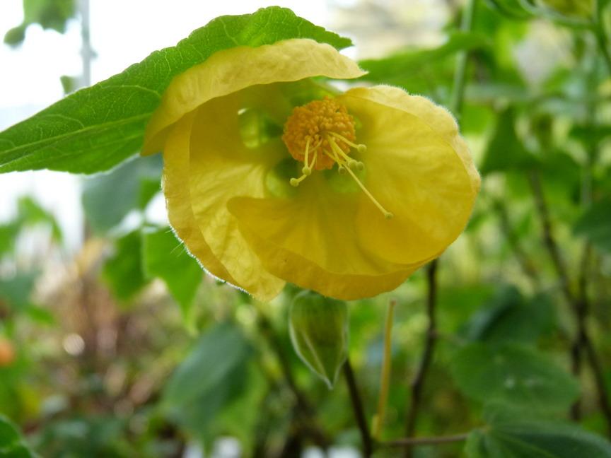 Plantes vivaces et foug res floraison jaune p pini re for Commande de plantes en ligne