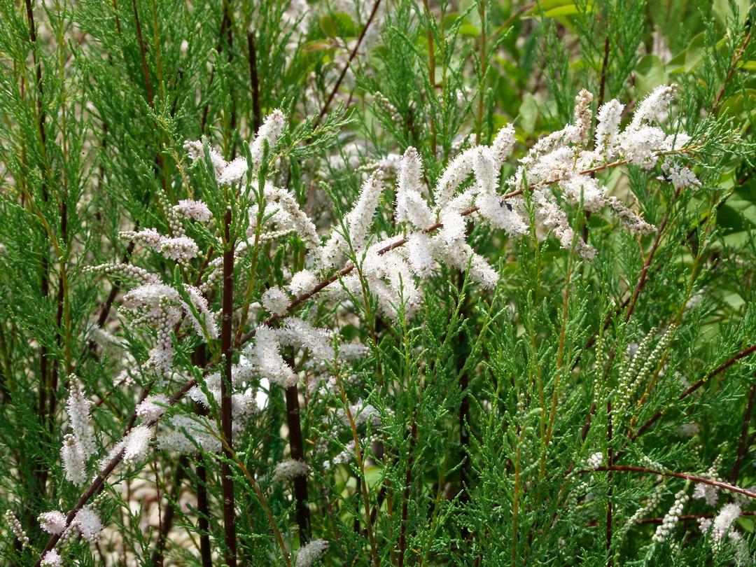 Tamarix ramosissima hulsdonk white tamaris d 39 t for Site de plante en ligne