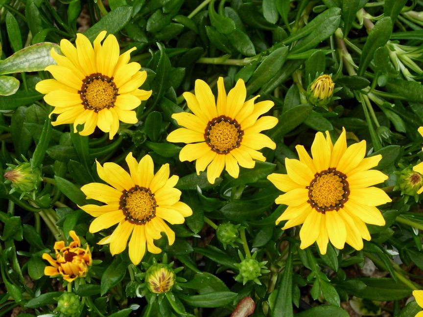 Gazania hybride gazania hybride gazanie p pini re en for Commande de plantes en ligne