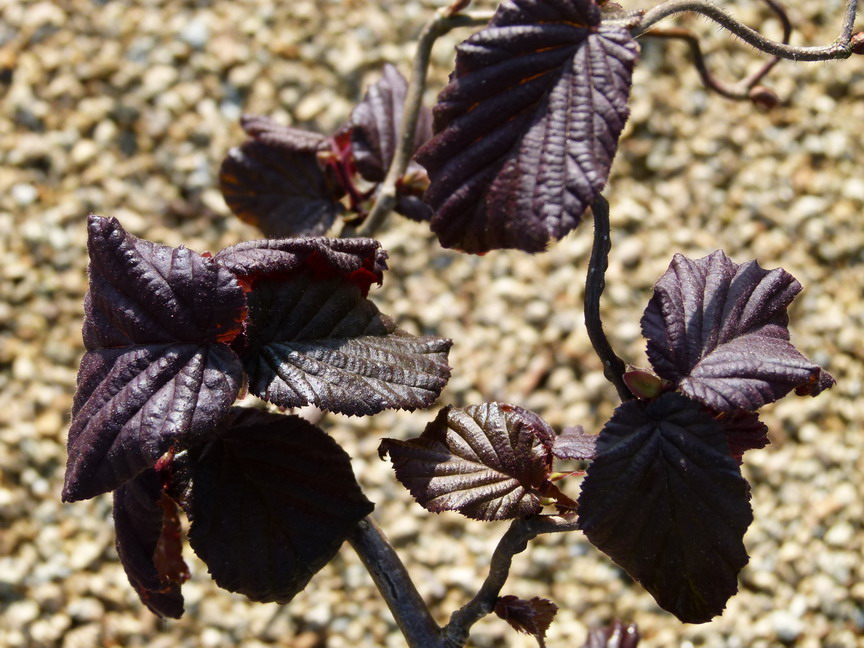 CORYLUS avellana Red Majestic ®