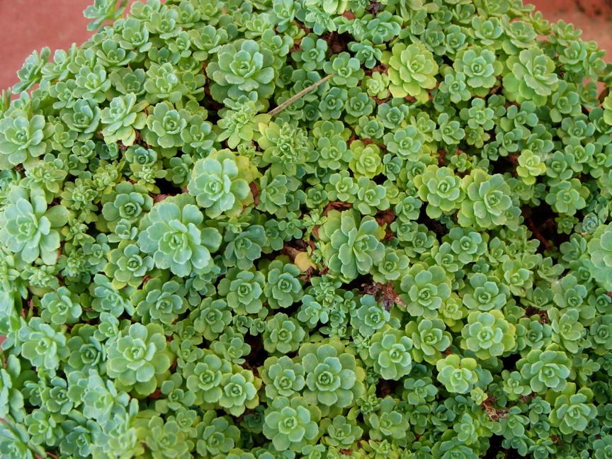 Sedum pachyclados s dum pachyclados orpin p pini re for Site de plante en ligne