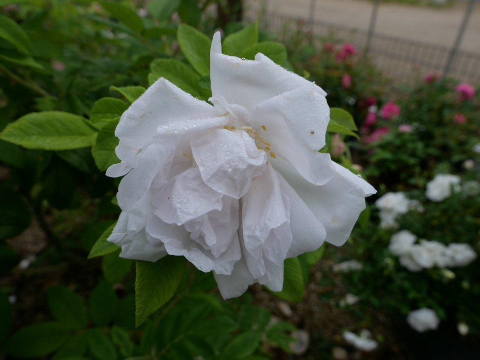 ROSA rugosa White Perfection ®