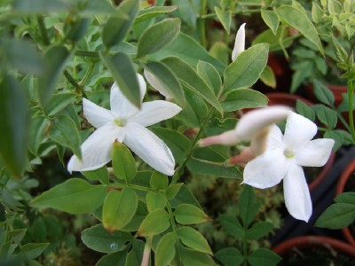 Jasminum officinale affine jasmin d 39 espagne p pini re for Site de plante en ligne