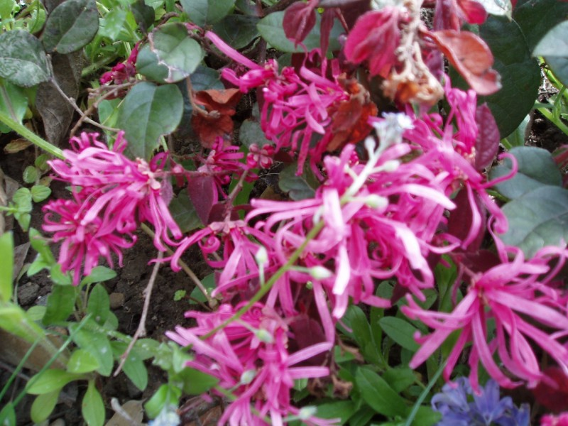 LOROPETALUM chinense Ming Dynasty