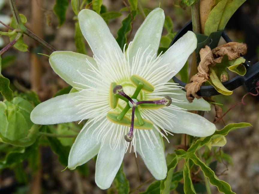 passiflora caerulea constance elliot passiflore fleur de la passion p pini re en ligne de. Black Bedroom Furniture Sets. Home Design Ideas