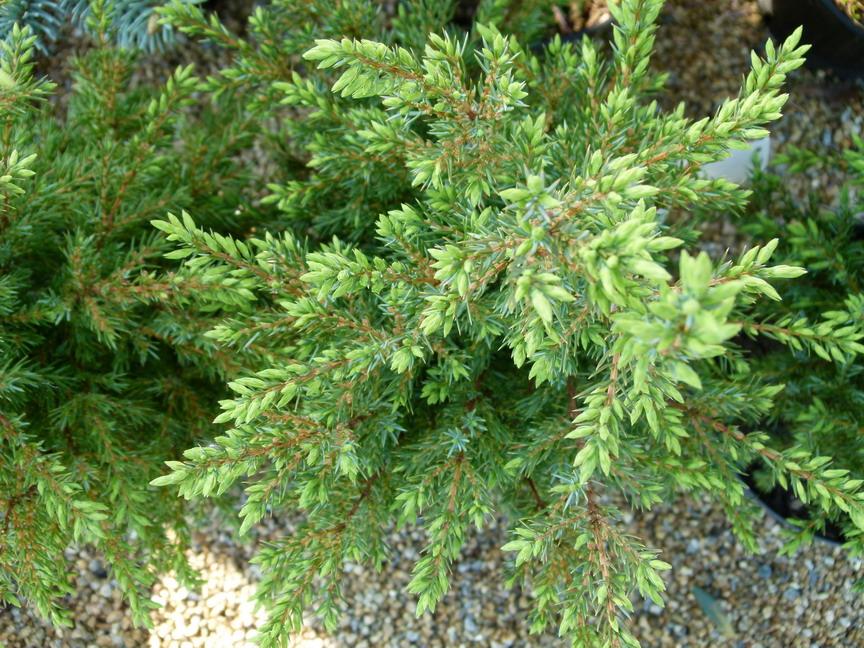 juniperus communis hibernica gen vrier commun d 39 irlande geni vre p tron p pini re en ligne. Black Bedroom Furniture Sets. Home Design Ideas