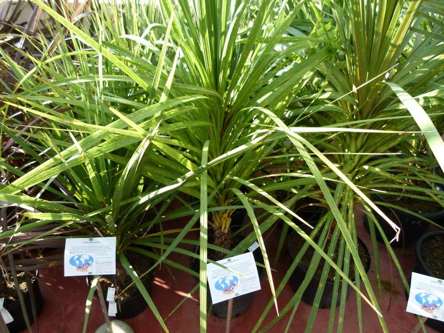 Cordyline indivisa palmier de nouvelle z lande indivisa for Commande de plantes en ligne