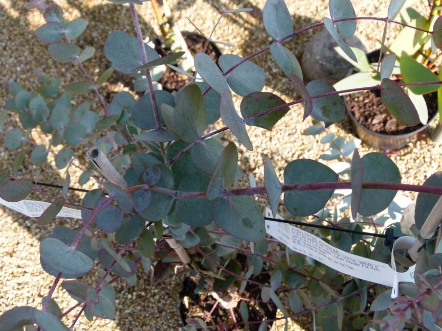 eucalyptus cinnerea gommier d 39 australie gommier cidre arbre au koala p pini re en ligne. Black Bedroom Furniture Sets. Home Design Ideas