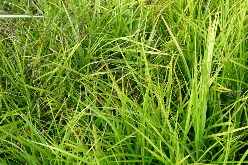Carex muskigumensis carex muskigumensis la che palm e for Commande de plantes en ligne