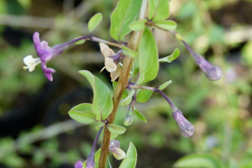Lycium barbarum goji lyciet de barbarie p pini re en for Commande de plantes en ligne
