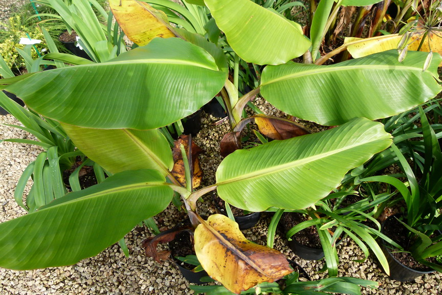Musa basjoo dajiao bananier dajiao p pini re en ligne for Site de vente de plantes en ligne