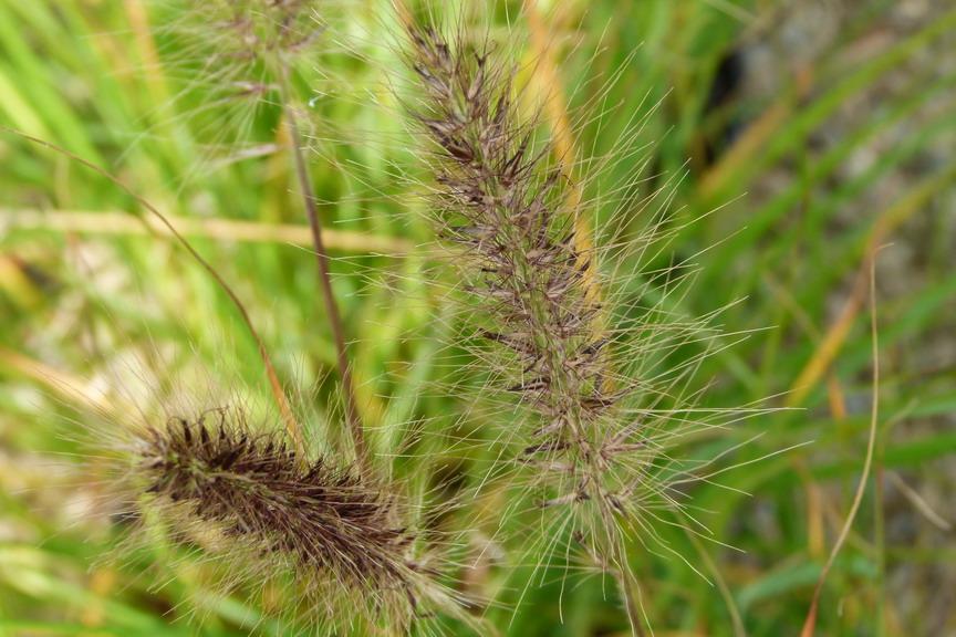 Pennisetum alopecuroides herbe aux couvillons for Commande plante en ligne