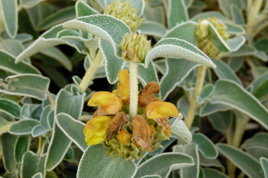Phlomis fruticosa sauge de j rusalem phlomide for Commande de plantes