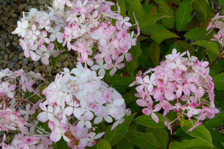 Hydrangea paniculata phamtom hortensia panicul phantom for Commande de plantes en ligne