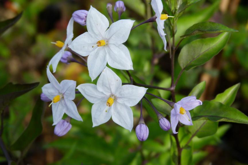 Solanum jasmino des solanum jasmino des morelle faux for Commande de plantes