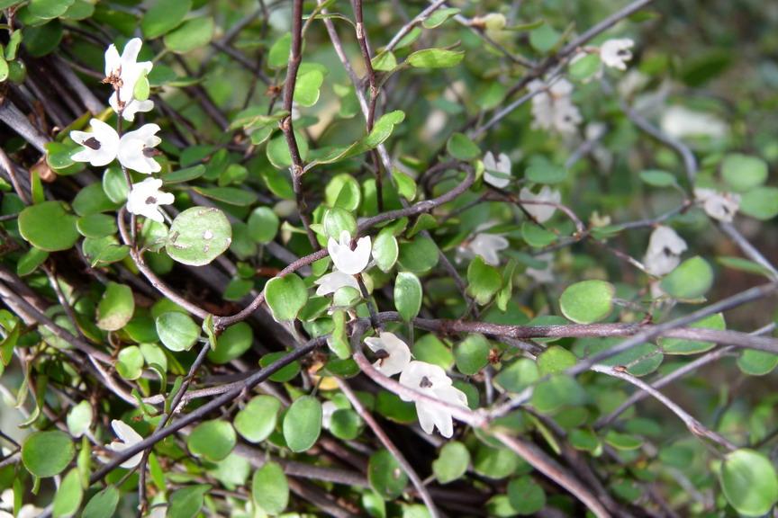 Muehlenbeckia complexa cheveux d 39 ange p pini re en for Site de plante en ligne