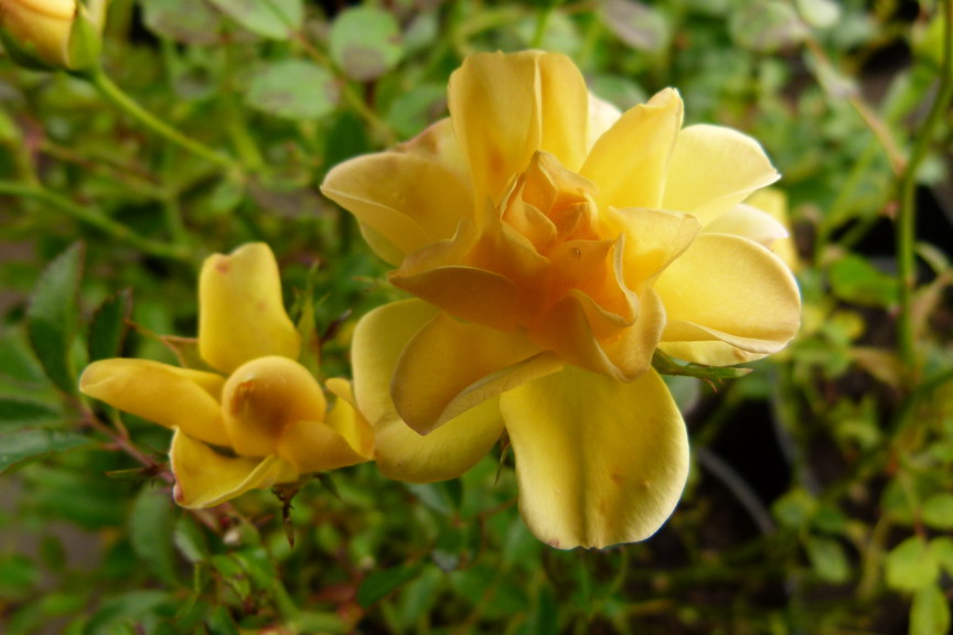 ROSA Yellow Fairy ®