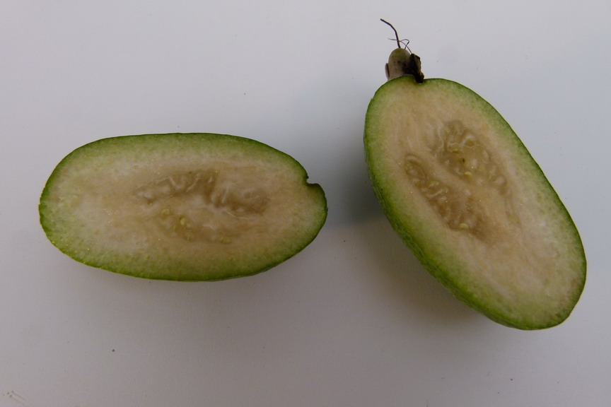 FEIJOA sellowiana de bouture
