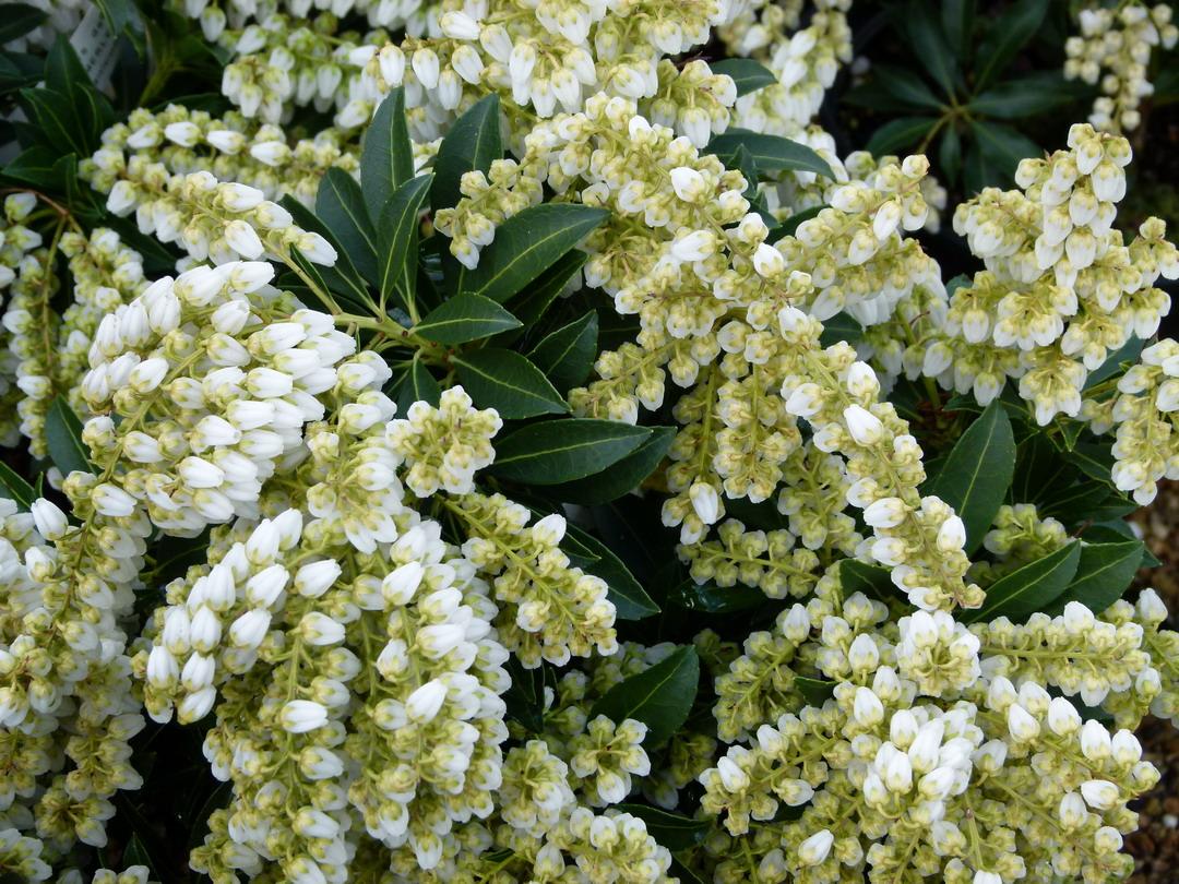 Pieris japonica gavotte androm de du japon gavotte for Commande de plantes en ligne