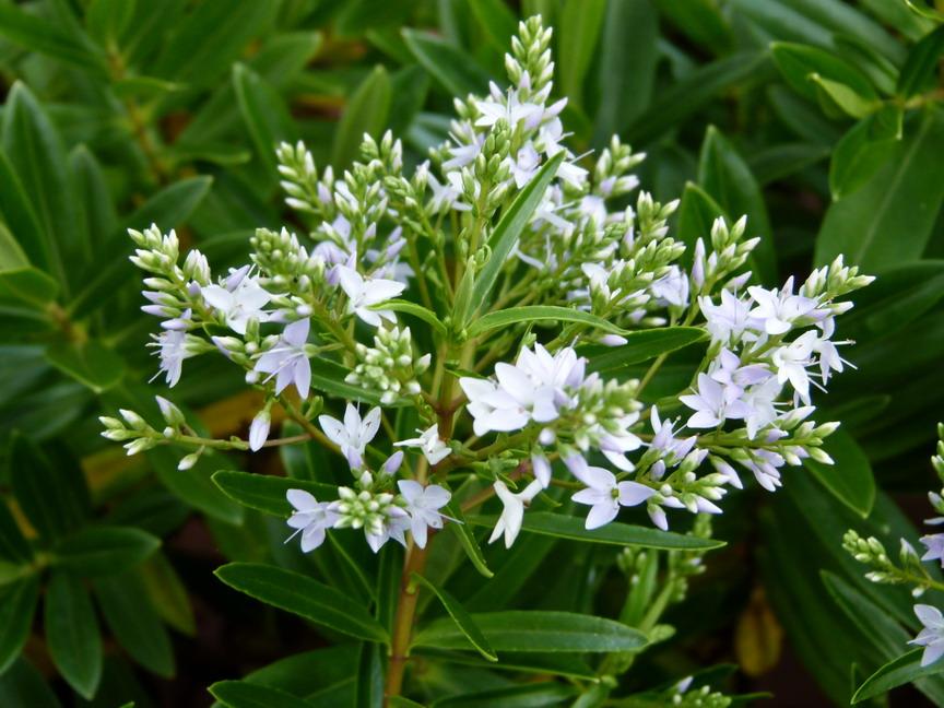 Hebe diosmifolia v ronique diosmifolia p pini re en for Plante 21 en ligne