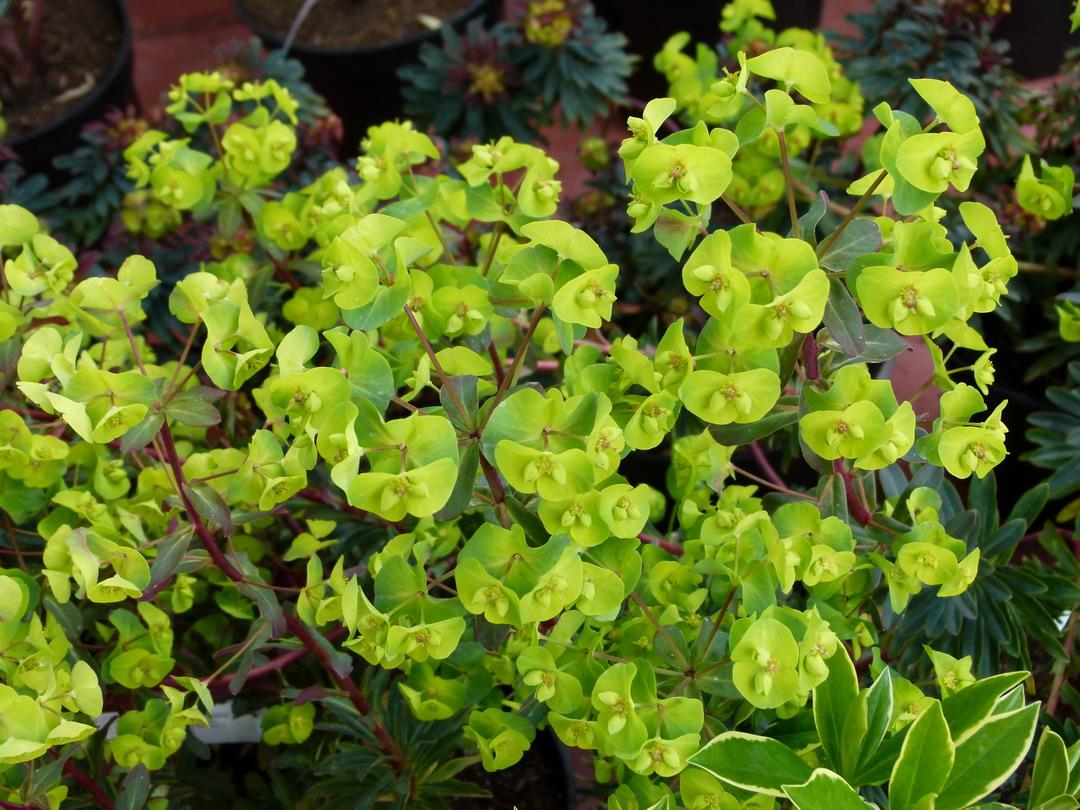 Euphorbia amygdaloides purpurea euphorbe purpurea for Commande de plantes