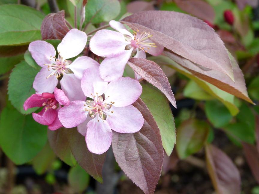 Malus coccinella pommier feuillage pourpre for Site de vente de plantes en ligne