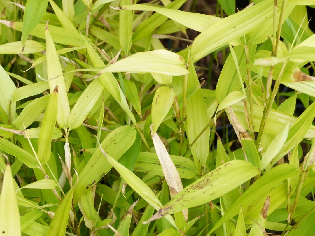 Phyllostachys bissetti bambou p pini re en ligne de for Commande plante en ligne