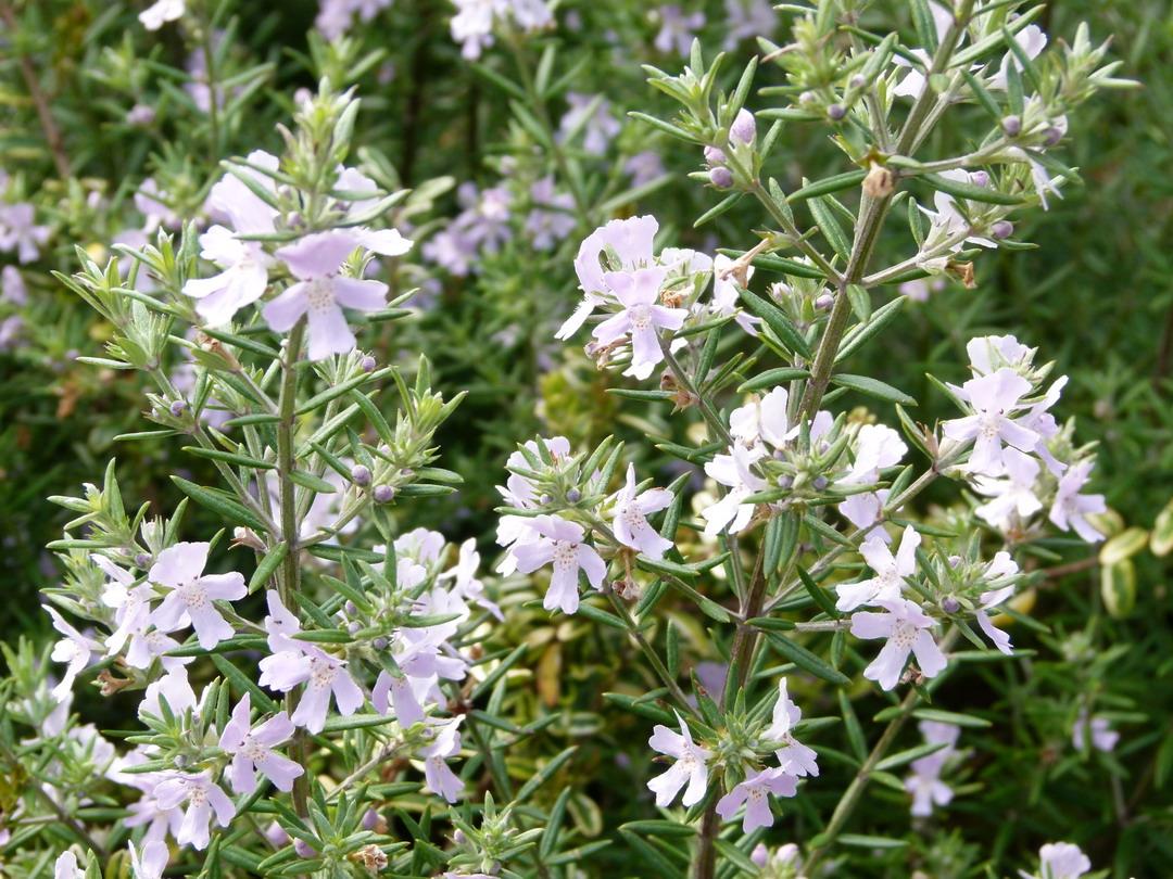 Westringia fruticosa wynyabie gem romarin d 39 australie for Commande de plantes