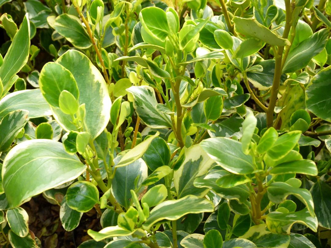 Griselinia littoralis variegata gris line variegata for Site de plante en ligne