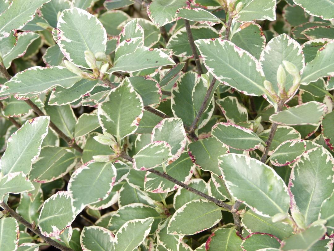 pittosporum tenuifolium garnettii pittosporum petites feuilles garnetti pittospore. Black Bedroom Furniture Sets. Home Design Ideas