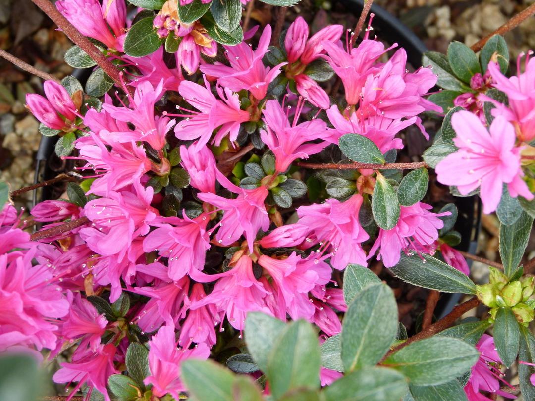 Azal es japonaises floraison violette p pini re en for Plantes japonaises