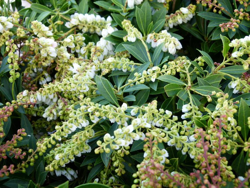 Pieris japonica pr lude pndrom de du japon pr lude for Site de vente de plantes en ligne