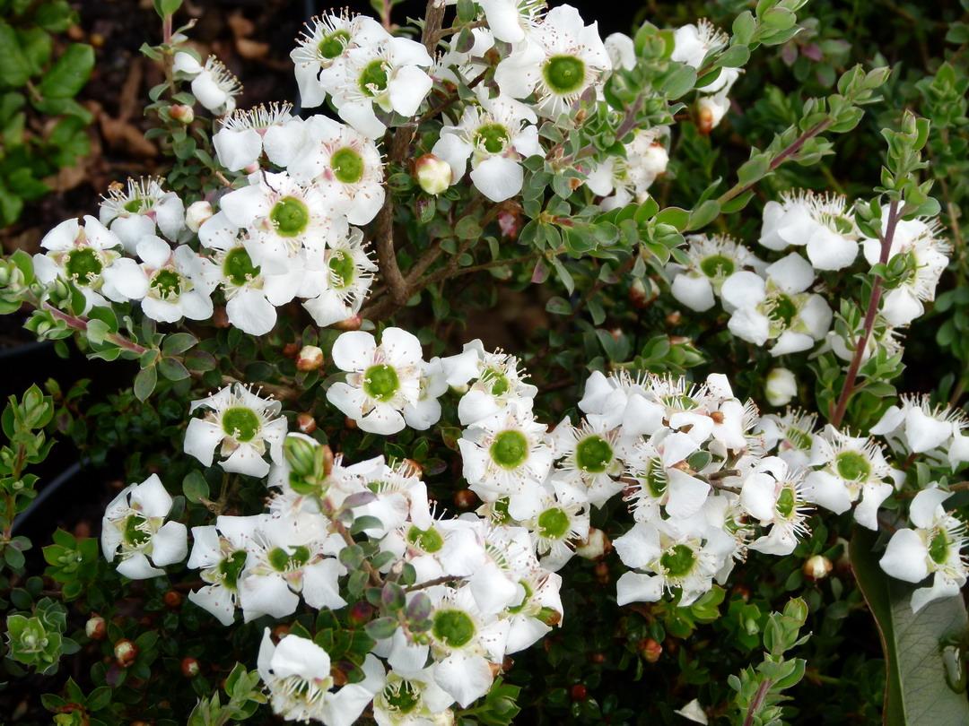Leptospermum karo silver ice arbre th de nouvelle for Myrte arbuste