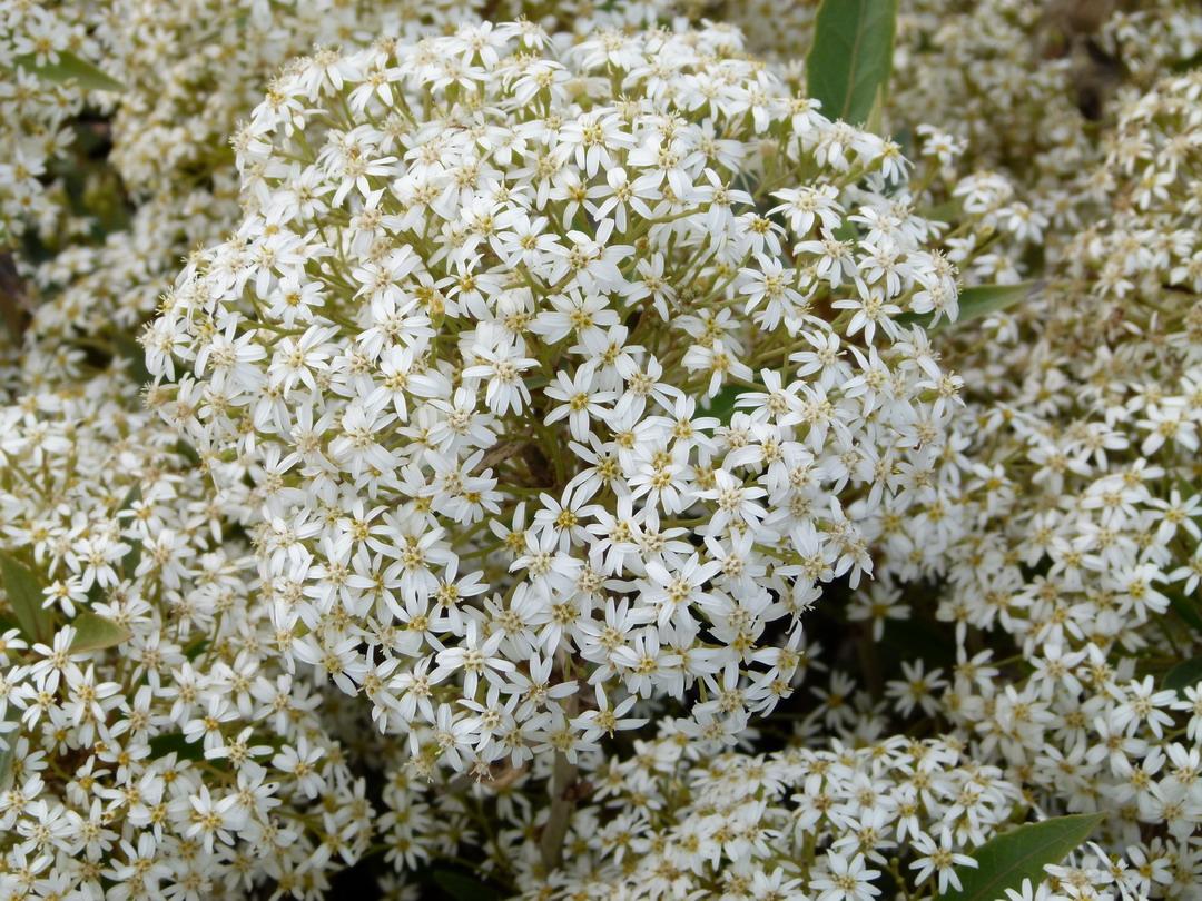 Olearia rani ol aria rani p pini re en ligne de kerzarc 39 h for Commande de plantes en ligne