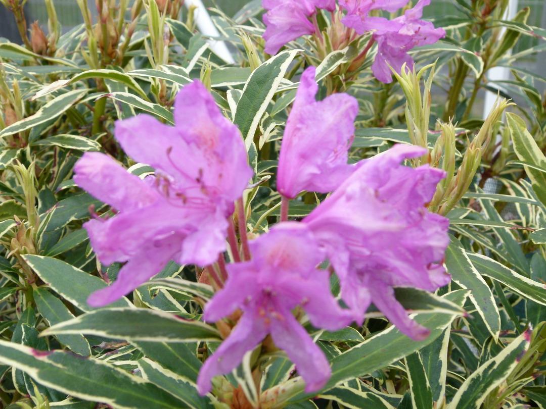 rhododendron ponticum variegatum rhododendron pontique panach p pini re en ligne de kerzarc 39 h. Black Bedroom Furniture Sets. Home Design Ideas
