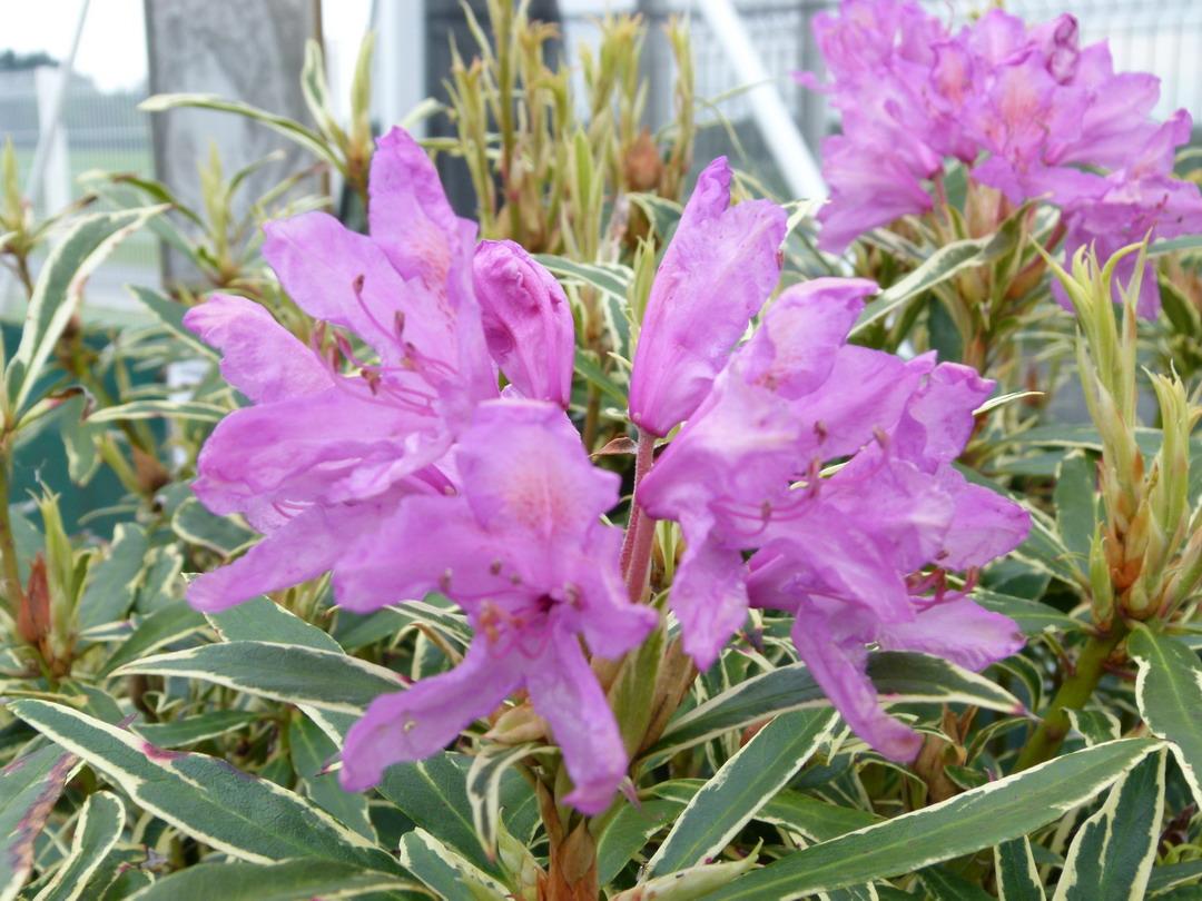 Rhododendron ponticum variegatum rhododendron pontique for Site de plante en ligne