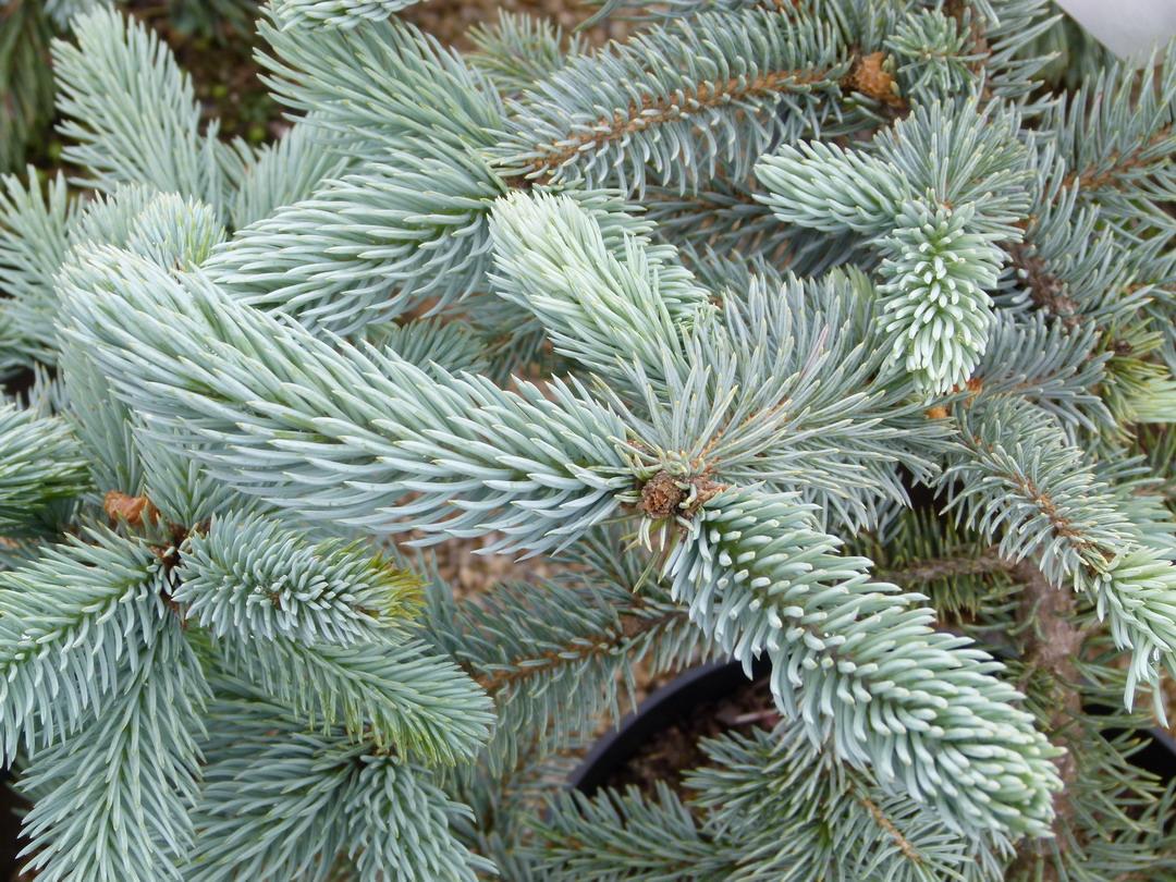Picea pungens hoopsii sapin bleu p pini re en ligne de for Commande de plantes