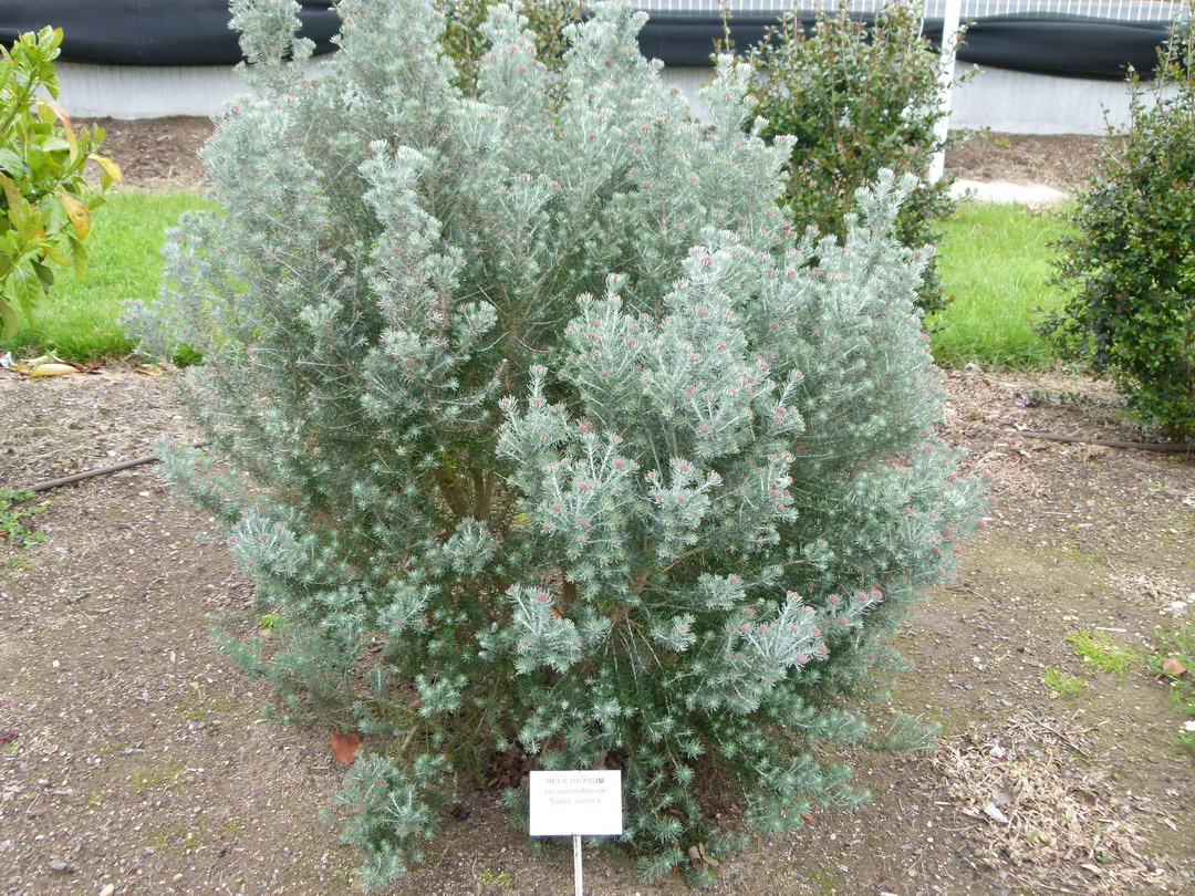 Helichrysum rosmarinifolium silver jubil h lichrysum for Site de vente de plantes en ligne