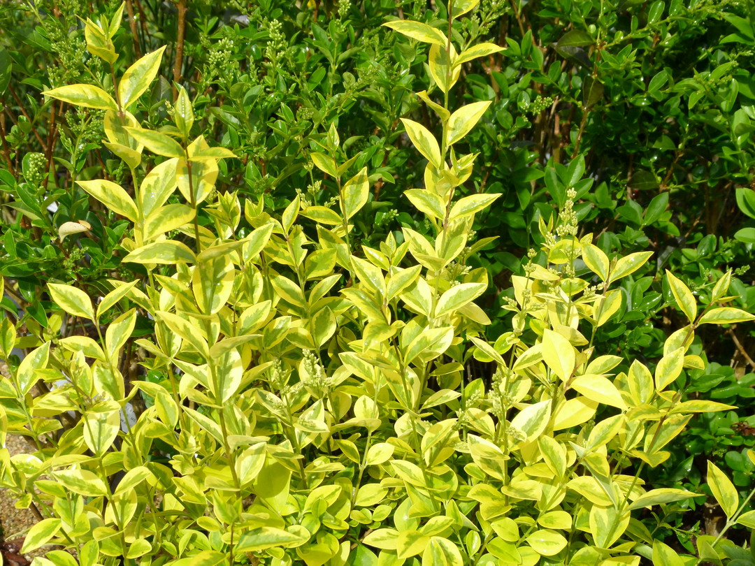 Ligustrum ovalifolium aureum tro ne de californie dor for Site de plante