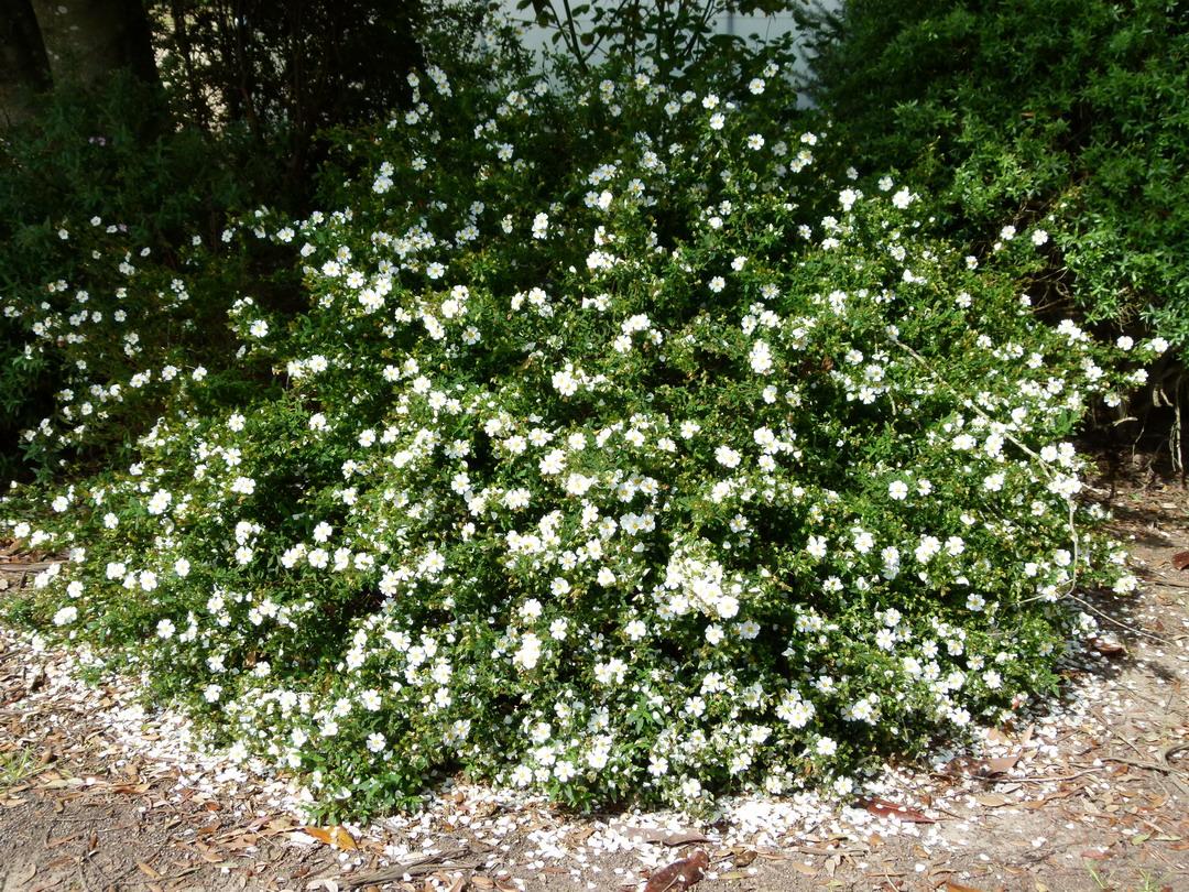 Cistus ciste florentinus fleur d 39 un jour for Plante 21 en ligne