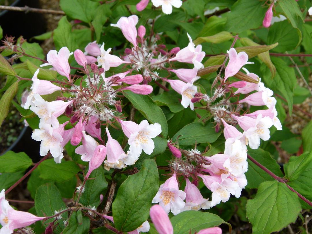 Kolwitzia amabilis pink cloud buisson de beaut for Site de vente de plantes en ligne